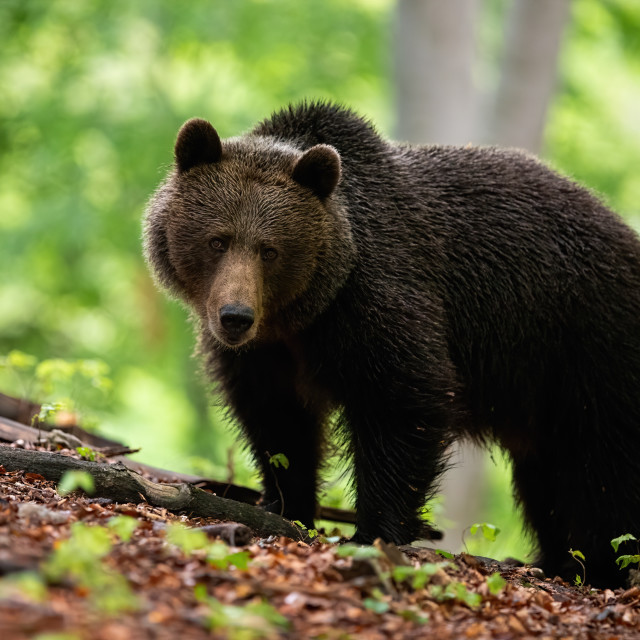 """A shaggy female of brown bear with sad face on the forest hillock"" stock image"