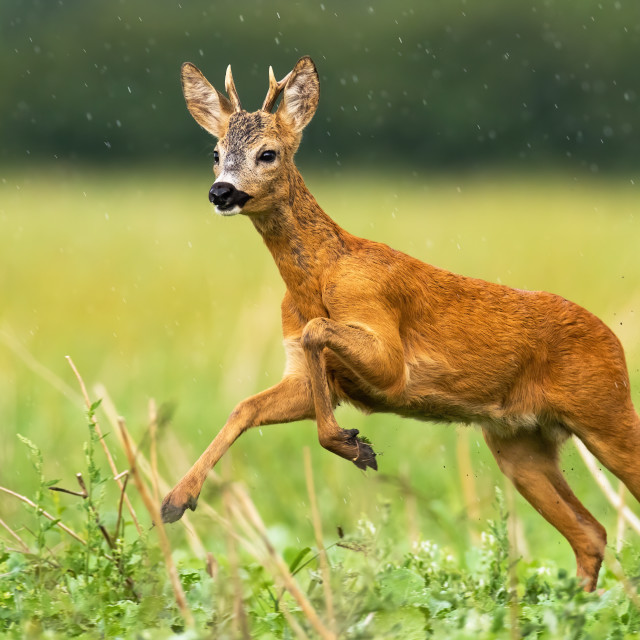 """Young roe deer buck with small antlers caught in action of running in high speed"" stock image"