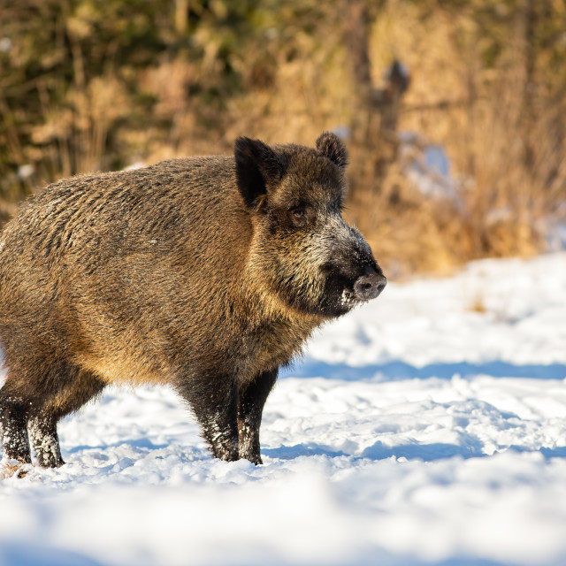 """Wild boar, sus scrofa, standing and listening on a glade in winter"" stock image"