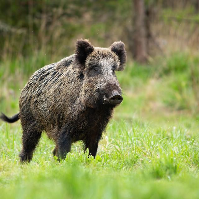"""""""Alert male wild boar standing fierceful on a meadow in springtime."""" stock image"""