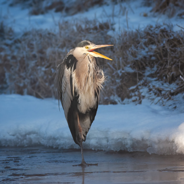 """""""Wild heron standing on ice in winter early in the morning"""" stock image"""