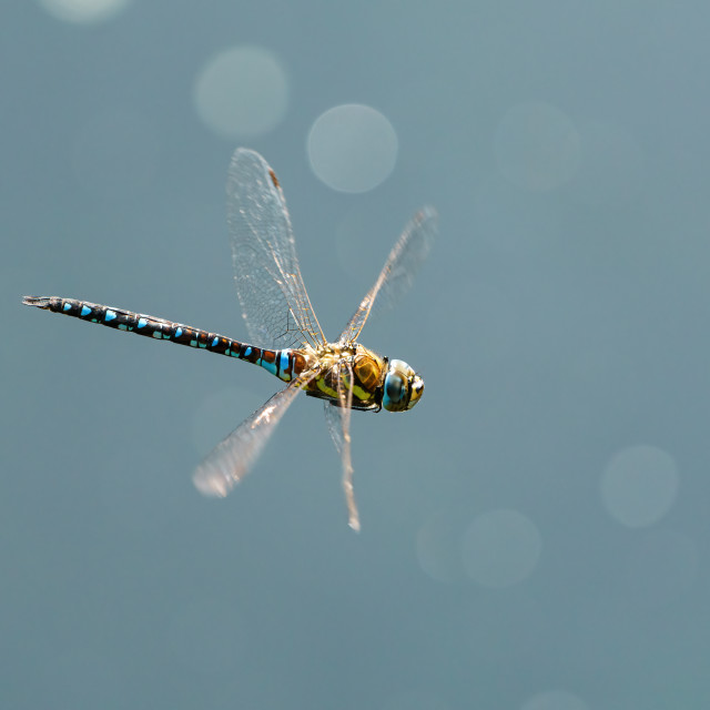 """A large blkue dragonfly in flight, taken in England"" stock image"