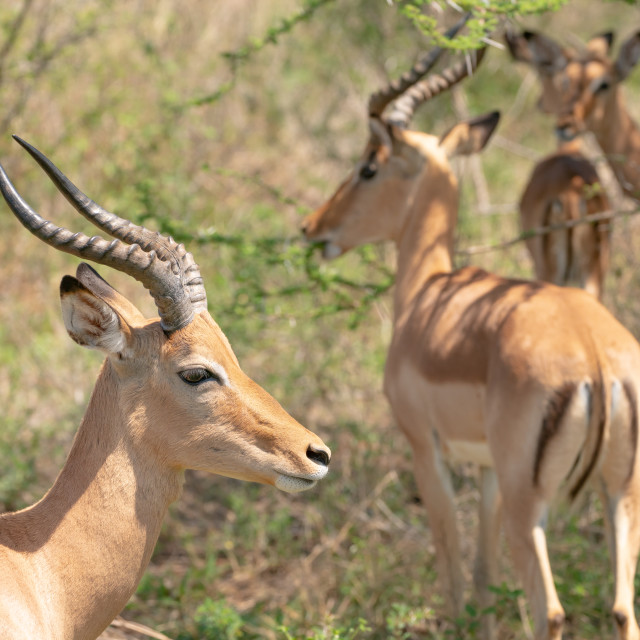 """Impala bulls (Aepyceros melampus), taken in South Africa"" stock image"
