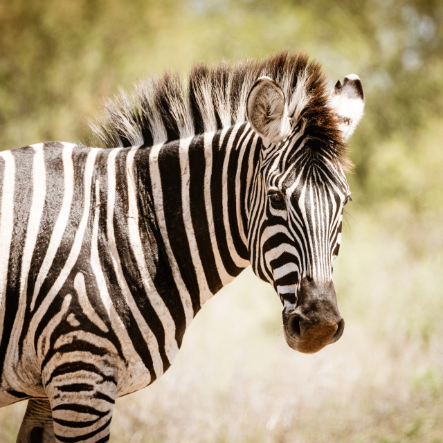 """A Zebra (Equus quagga) in the bush in Kruger Park South Africa"" stock image"