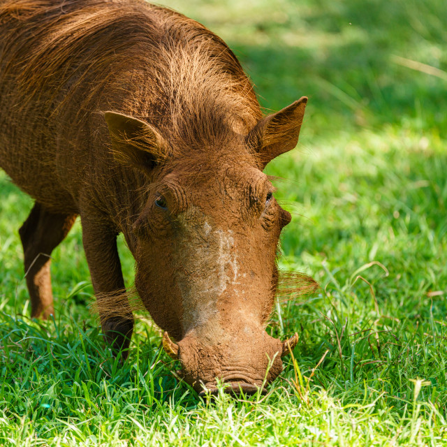 """A Warthog (Phacochoerus africanus) goraging for food in grass, taken in South..."" stock image"