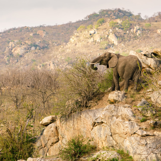 """African Elephant (Loxodonta africana) feeding on a hills edge in South Africa"" stock image"