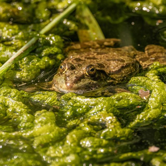 """""""Marsh Frog (Pelophylax ridibunda) partly submerged in pond water, taken in..."""" stock image"""