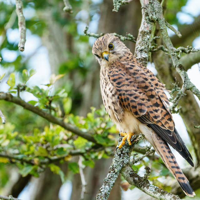 """Common Kestrel (Falco tinnunculus) perhced low in a tree, taken in London,..."" stock image"