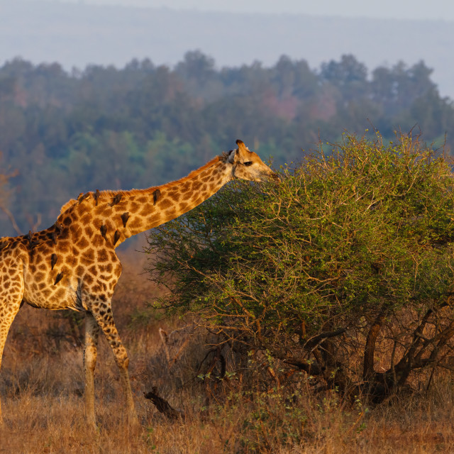 """Giraffe (Giraffa camelopardalis) in the early morning sun, taken in South Africa"" stock image"