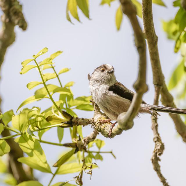 """Long-tailed tit (Aegithalos caudatus) in the UK"" stock image"