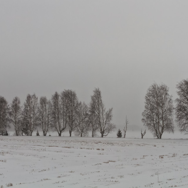 """""""Line Of Birch Trees In A Snow Storm"""" stock image"""