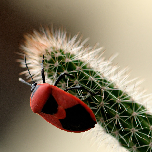 """""""Red Bug"""" stock image"""