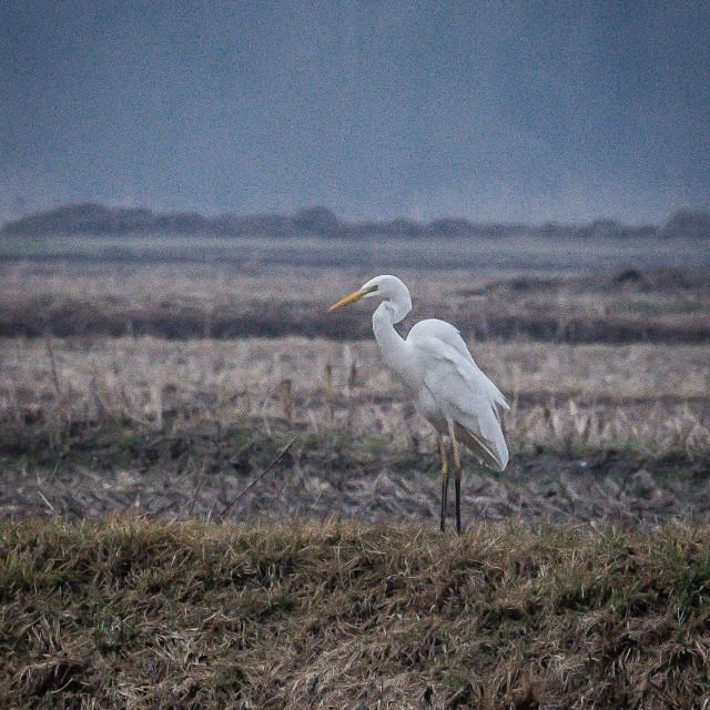 """white heron in the Italian countryside"" stock image"