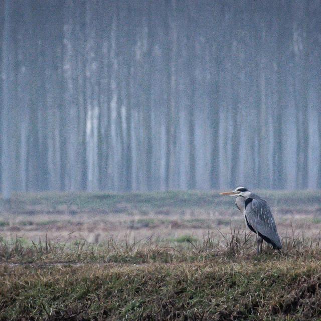 """gray heron in the Italian countryside"" stock image"