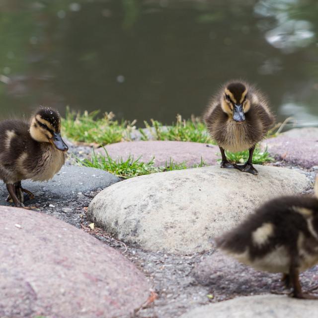 """ducklings"" stock image"