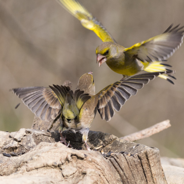 """""""European greenfinch that compete for food"""" stock image"""