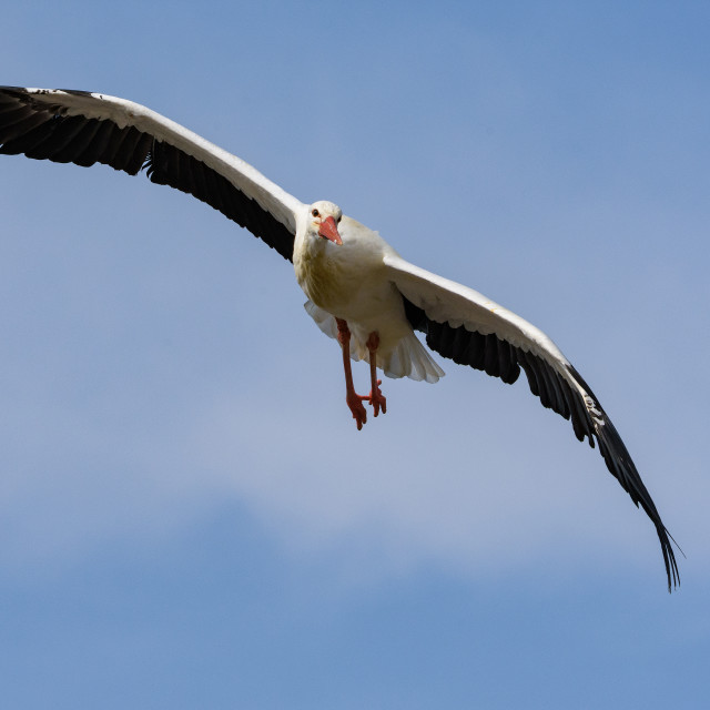 """European Stork in flight"" stock image"