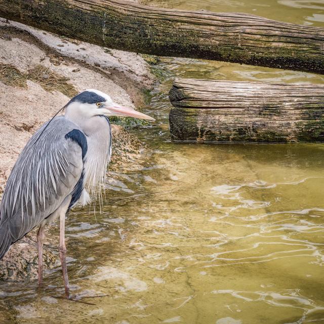 """Grey Heron near water"" stock image"