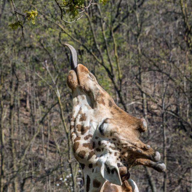 """Masai giraffe (Giraffa tippelskirchi) dinner time"" stock image"