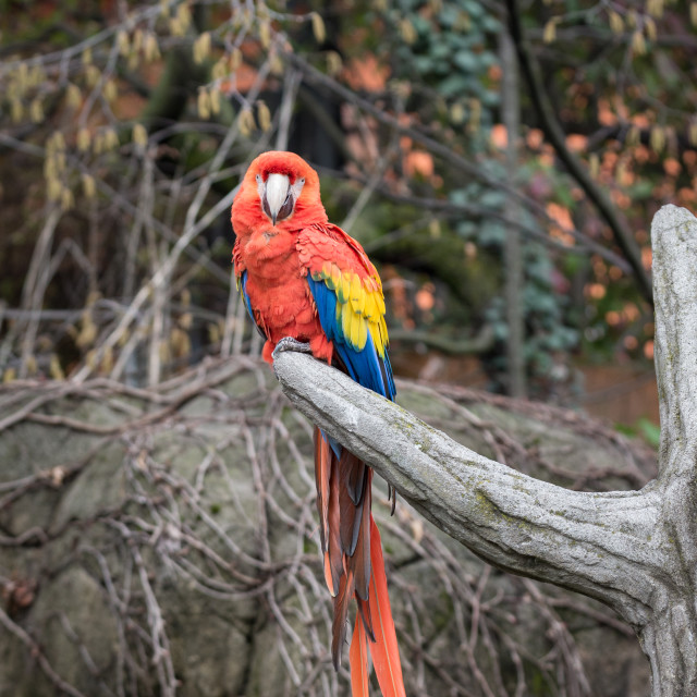 """""""Parrot, also known as psittacine on a branch"""" stock image"""