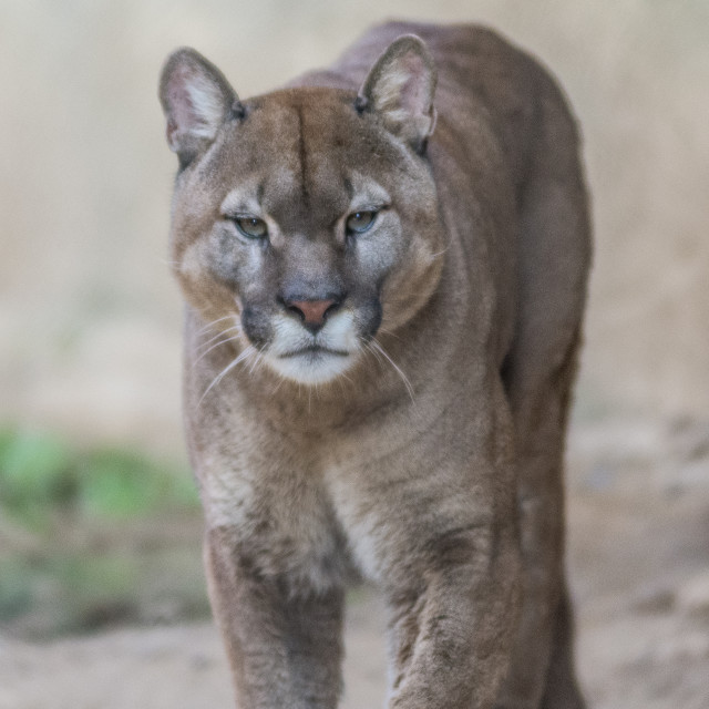 """""""Portrait of a large puma approaching"""" stock image"""