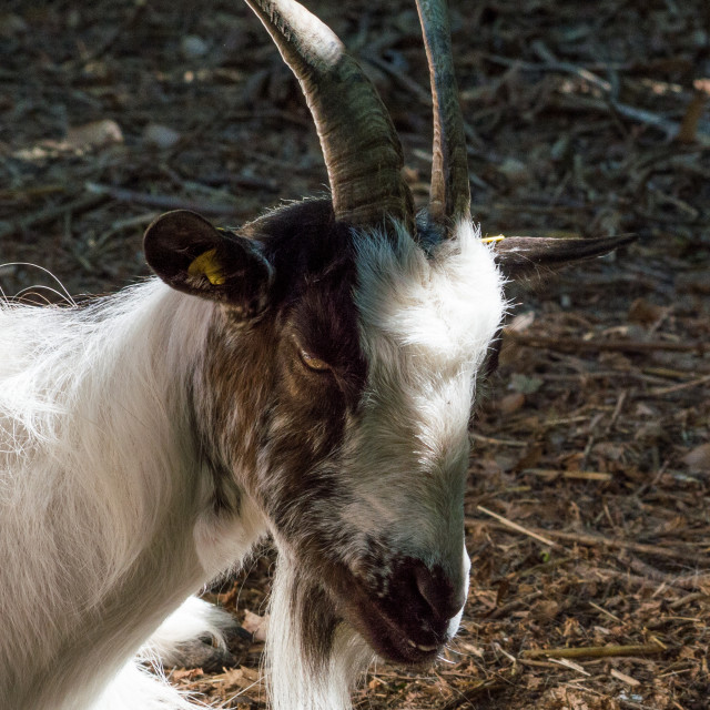 """""""Portrait of a black and white goat"""" stock image"""