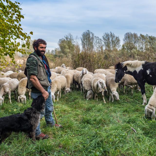 """Sheep-farming in the Bergamasca plain"" stock image"
