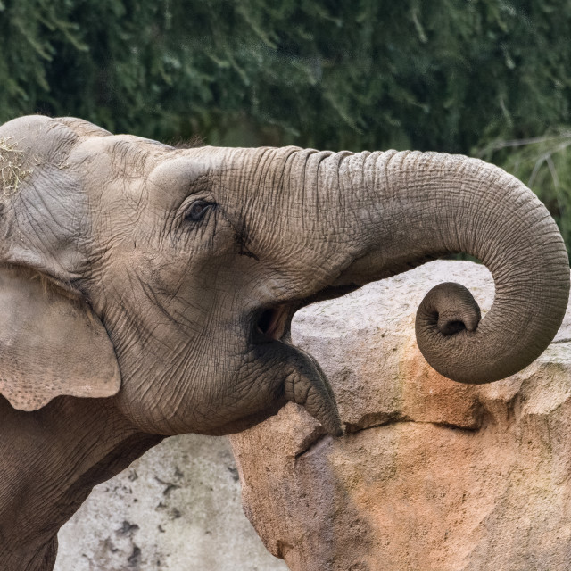 """""""The African bush elephant also known as the African savanna elephant"""" stock image"""