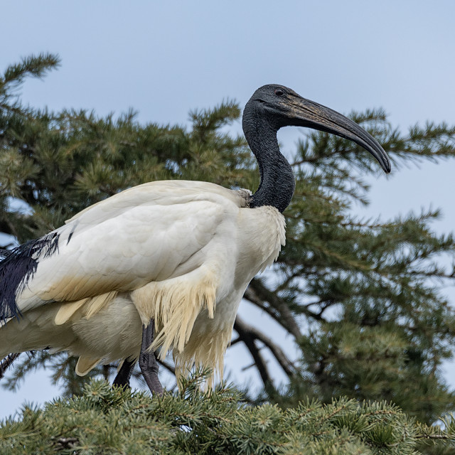 """""""The African sacred ibis on a tree"""" stock image"""