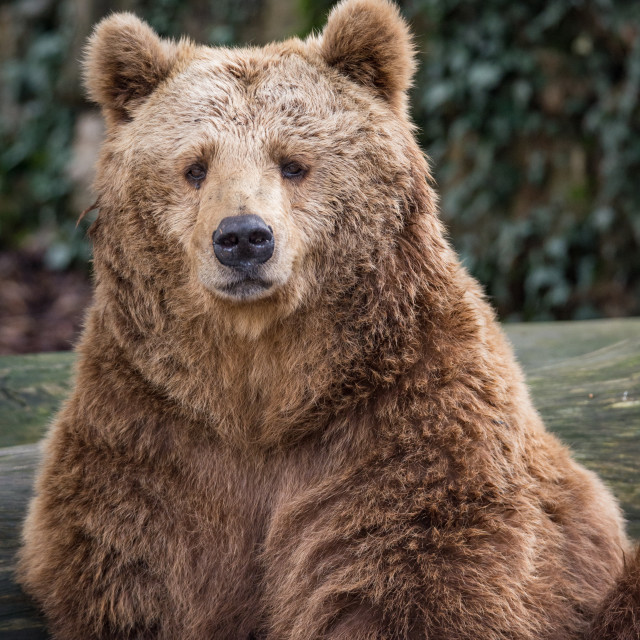 """""""The brown bear looks at me"""" stock image"""