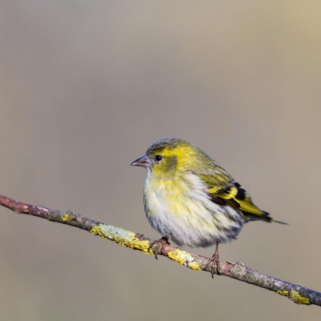 """The Eurasian siskin (small passerine bird) on branch"" stock image"