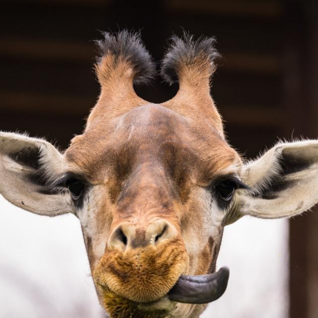 """The giraffe (Giraffa) portrait pic (wildlife photo)"" stock image"
