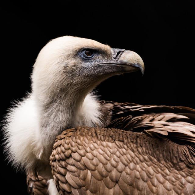 """The Himalayan vulture or Himalayan griffon vulture"" stock image"