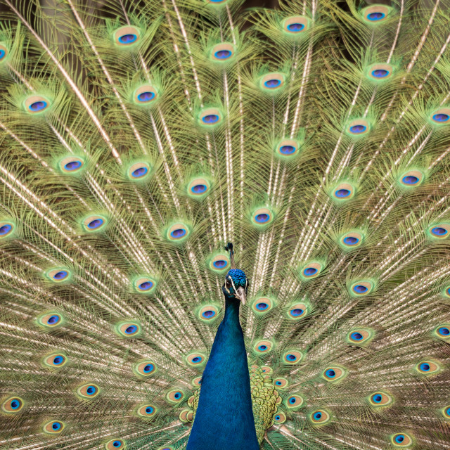 """""""The Indian peafowl or blue peafowl"""" stock image"""