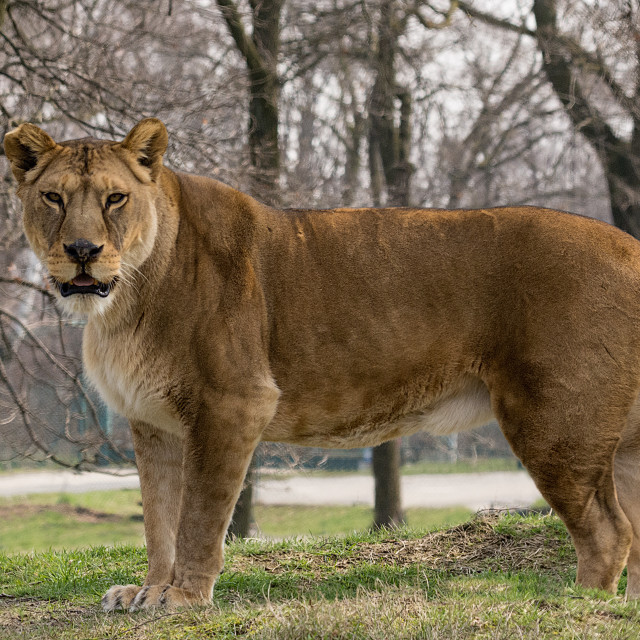 """""""the lioness stands and looks at you"""" stock image"""
