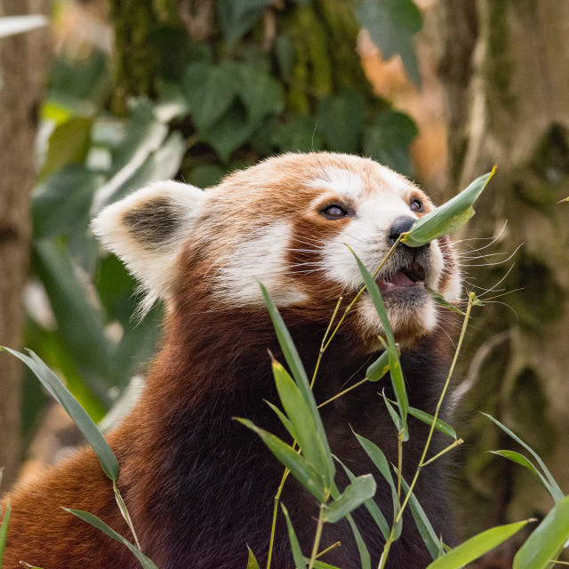 """""""The red panda eats on a tree"""" stock image"""