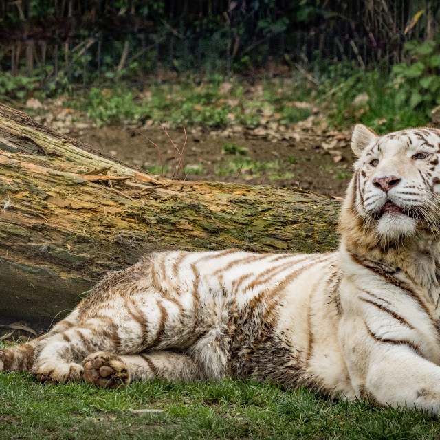 """""""The white tiger or bleached tiger (Tigre bianca del Bengala)"""" stock image"""