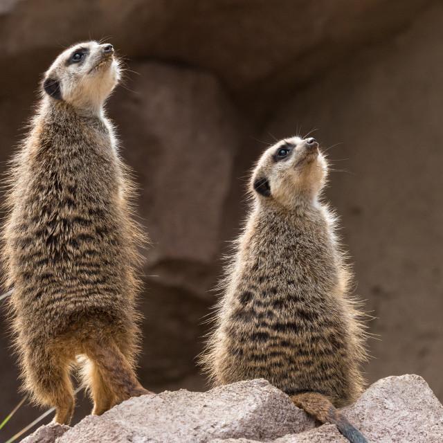 """""""Two meerkats or suricates look upwards"""" stock image"""
