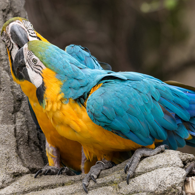 """""""Two parrots, also known as psittacines on a branch"""" stock image"""