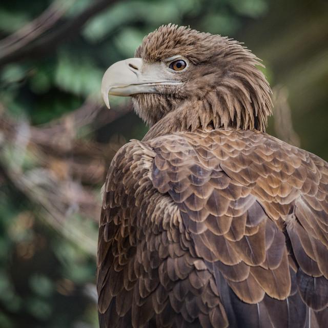"""""""White-tailed eagle (White-tailed sea-eagle)"""" stock image"""
