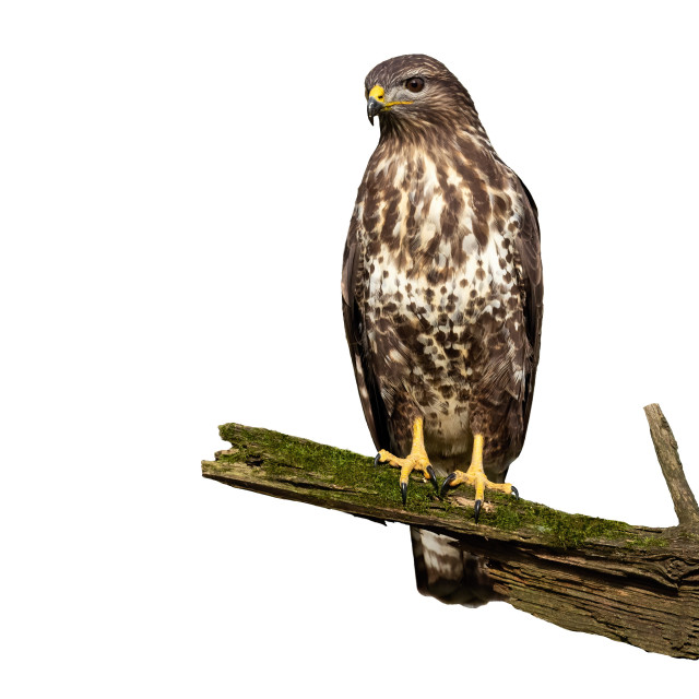 """""""Wondering common buzzard with curious look isolated on white background"""" stock image"""
