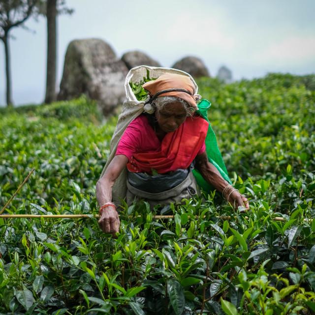 """Sri Lankan Tea Picker"" stock image"