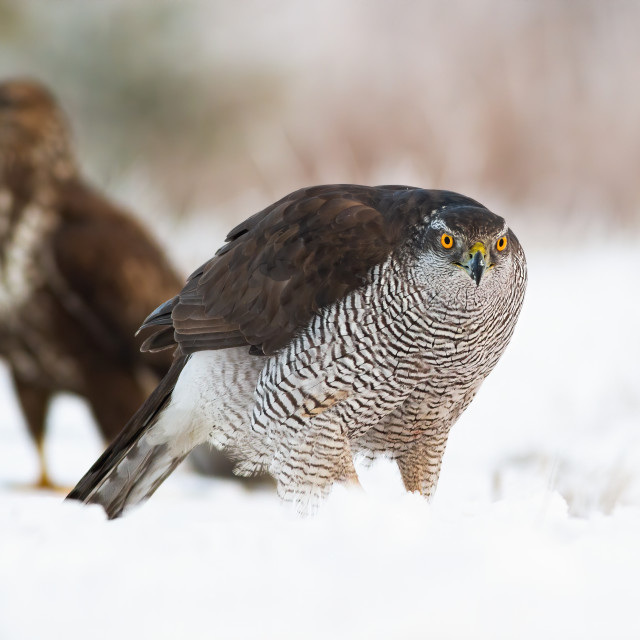 """""""Northern goshawk with common buzzard on snow in wintertime"""" stock image"""