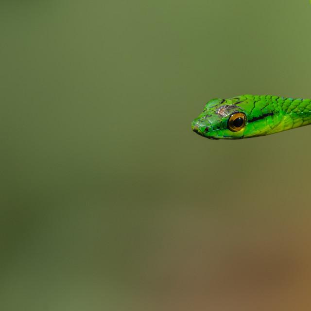 """A green parot snake"" stock image"