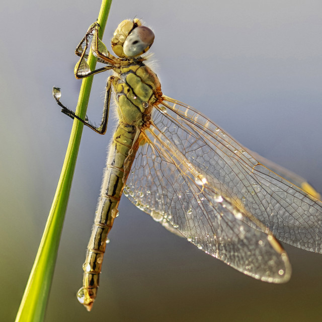 """""""DRAGON-FLY SAVORING THE DEW"""" stock image"""