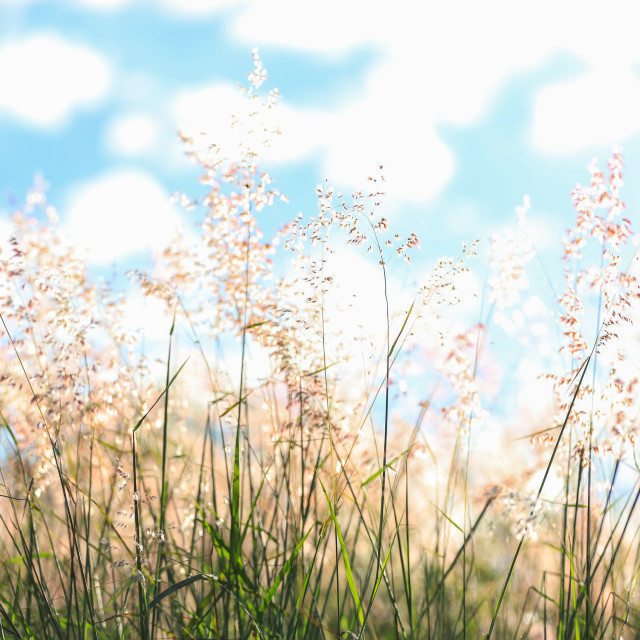 """The flowering of African grass, Melinis minutiflora"" stock image"