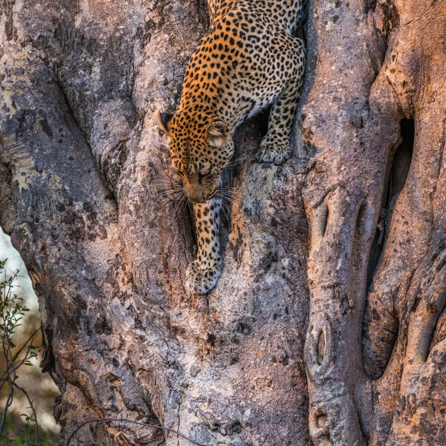 """Leopard climbing down tree"" stock image"