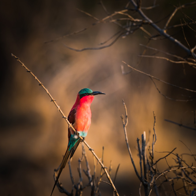 """Carmine bee eater on a branch=-Zambia"" stock image"