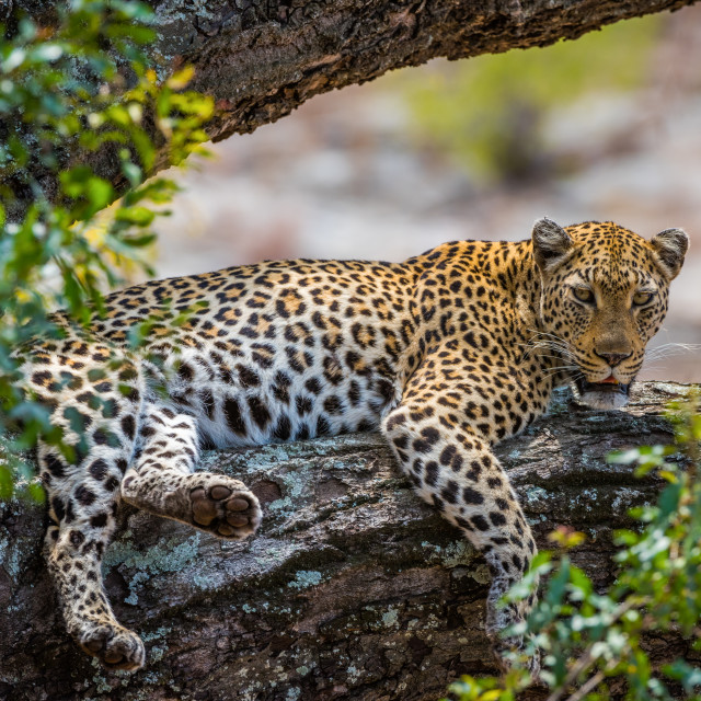 """Leopard lying on a tree branch"" stock image"