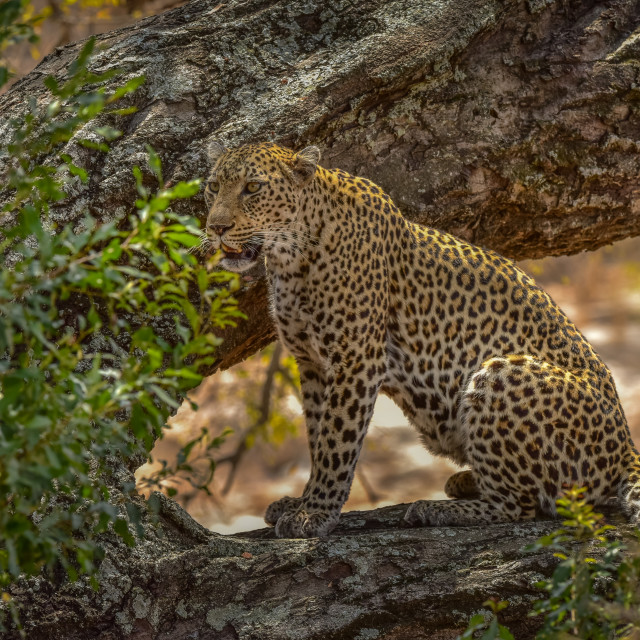 """Leopard sitting on haunches"" stock image"
